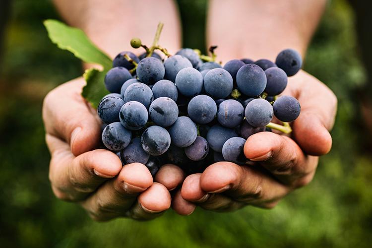 Los beneficios del resveratrol, un compuesto presente en la uva